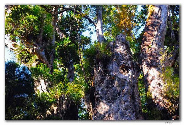NZ0080.Te Matua Ngahere. 2nd largest Kauri