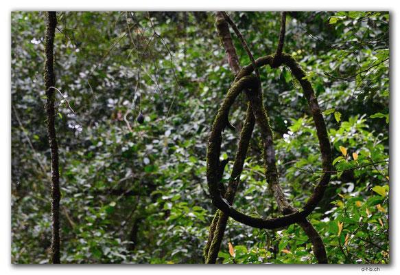 ID0186.Bedugul.Bot.Garten.Giant Fig Tree