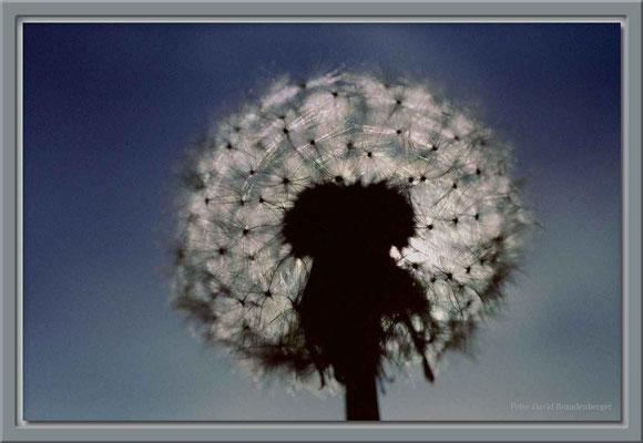 A0015 Pusteblume im Gegenlicht,Klosters,CH