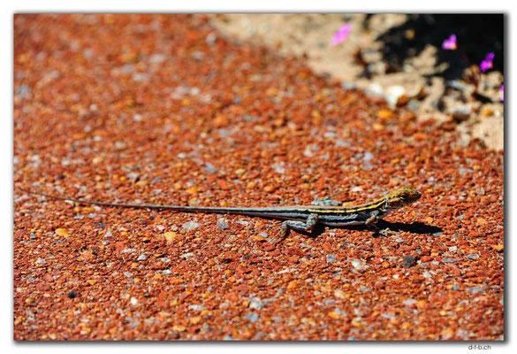 AU0475.Kalbarri N.P.Lizard