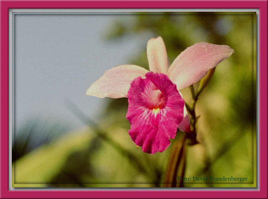 55.Orchidee,P.N.Tortuguero,Costa Rica