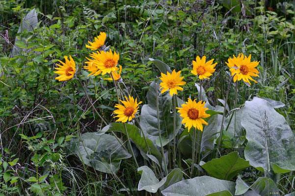 CA0199 Paul Lake Sonnenblumen