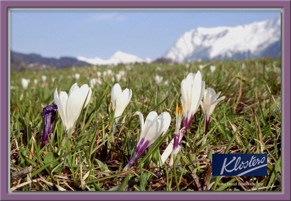 A0046,Krokus,Klosters,CH