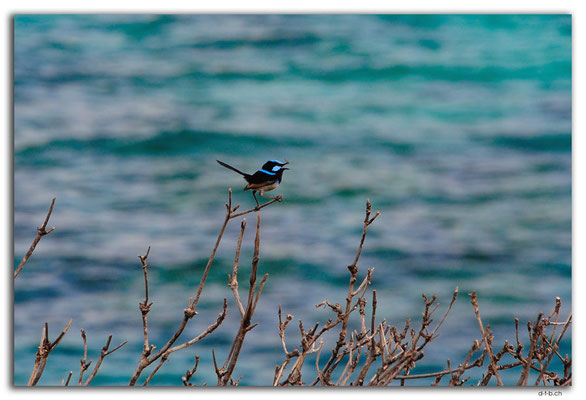AU1555.Sydney.Tamarama Point.Superb Fairy Wren