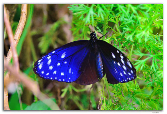 ID0084.Ubud.Schmetterling
