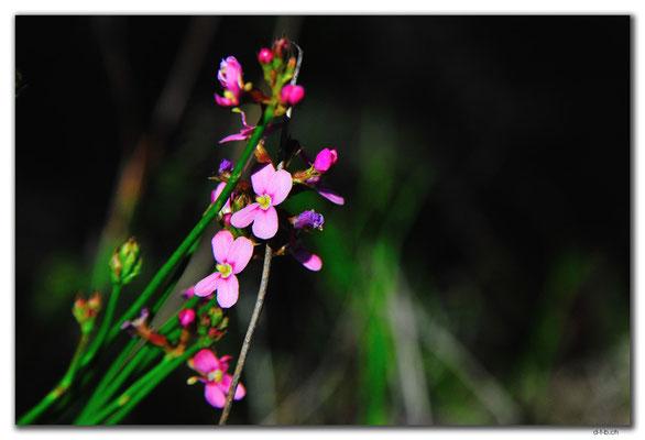 AU0566.Grigsons Lookout.Orchid