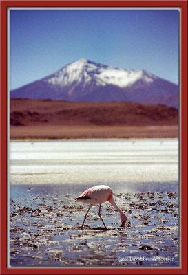 142.Flamingo,Altiplano,Bolivien