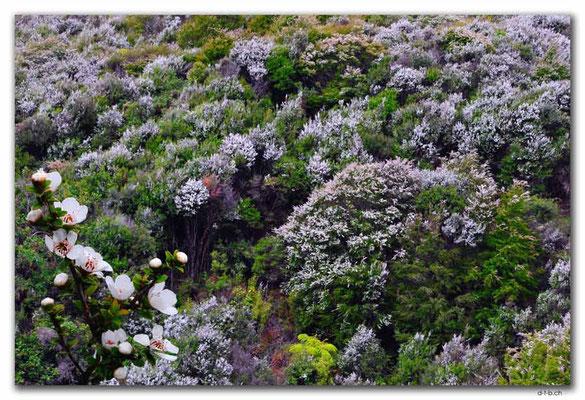NZ0594.Anatoki Track.Blühende Bäume