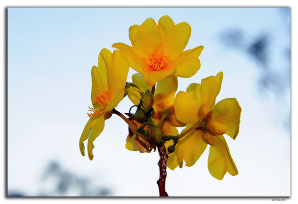 AU0100.Marumba.Blume