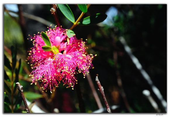 AU0455.Kalbarri N.P.Blume