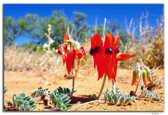 AU0297.Sturt's Desert Pea
