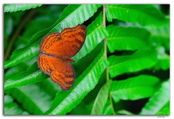 ID0134.Ubud.ARMA.Schmetterling