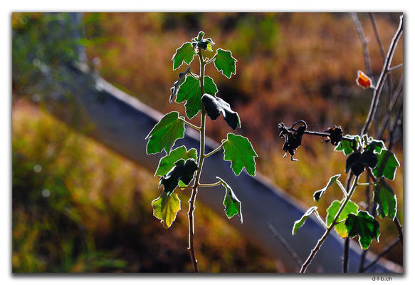 AU0315.Nikol River.Blätter