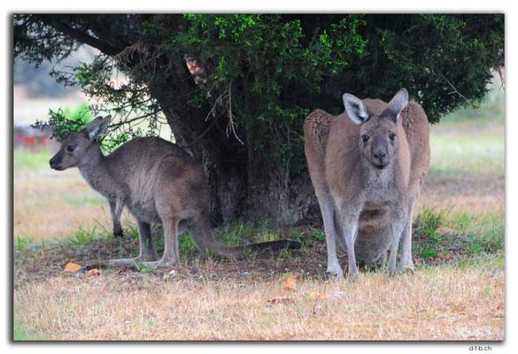 AU0759.Quinninup.Kangaroos