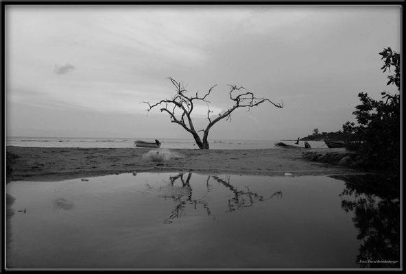 JM087.Buttonwood Tree,Treasure Beach