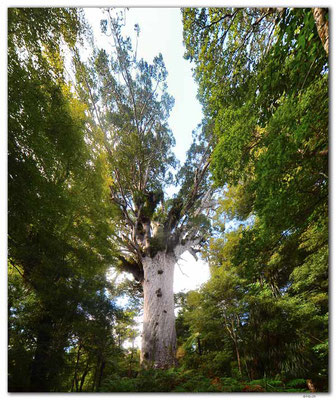NZ0085.Tane Mahuta.Largest Kauri