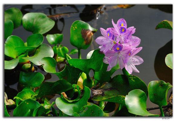 VN0206.Wasserblume bei Thanh Toan Bridge