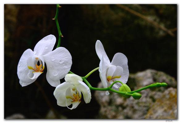 ID0180.Bedugul.Bot.Garten.Orchidee