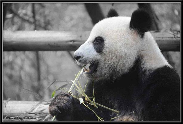 C0747Panda Zoo Chengdu