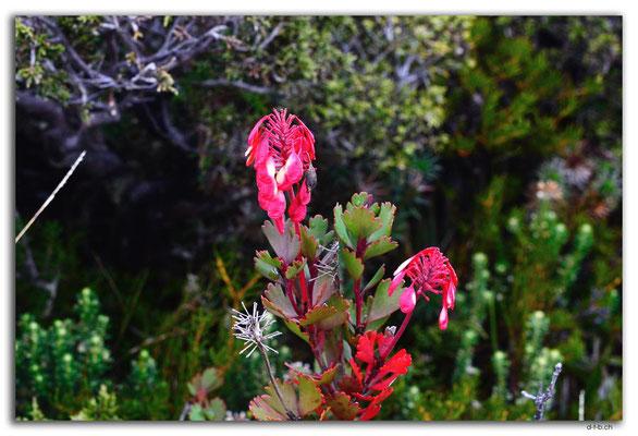 AU1336.Overland Track.Blume