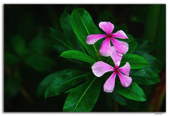 ID0209.Kintamani.Blume