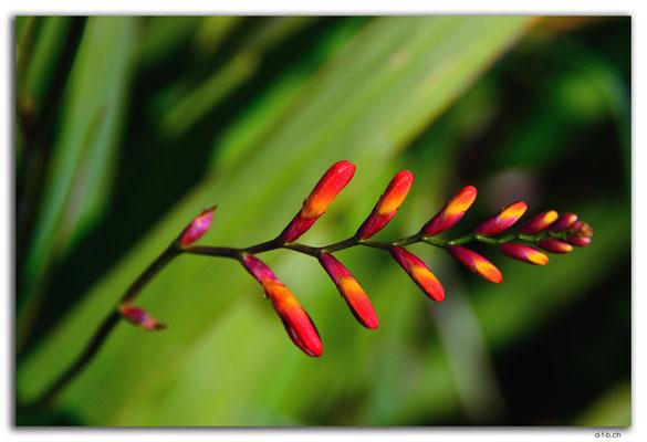 NZ0832.Stewart Island.Oban.Watercress Bay.Flower