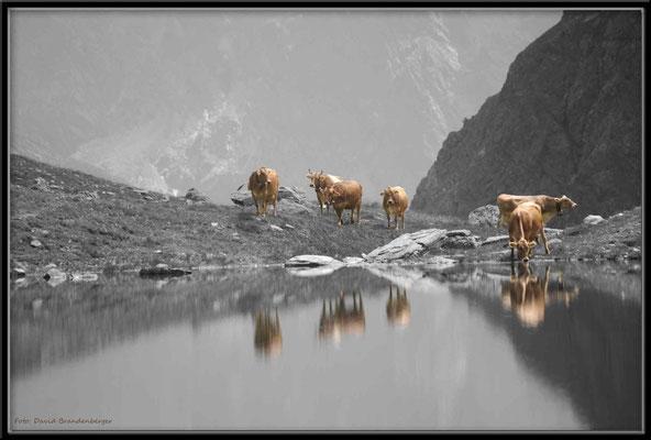 A0271.Kühe am Novaier Seeli,Klosters.CH