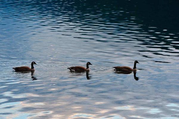 CA0279 Cultus Lake Canada Goose