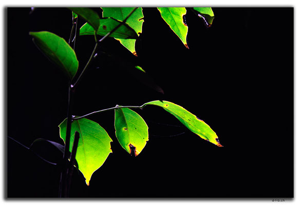 CN0478.Sanya.Yalong Bay Tropic Forest Park.Blätter