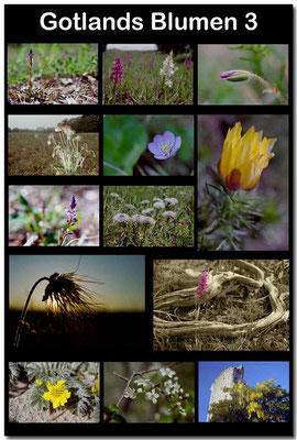 Gotland Blumen 3 / Gotland flowers 3