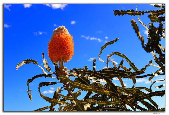 AU0446.Kalbarri N.P.Acorn Banksia
