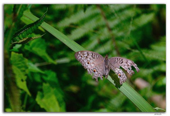 ID0079.Ubud.Schmetterling