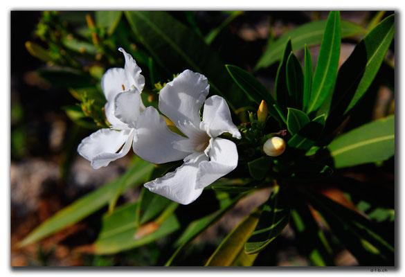 TR0503.Girne.Blume
