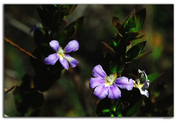 AU0679.Greenmount N.P.Blume