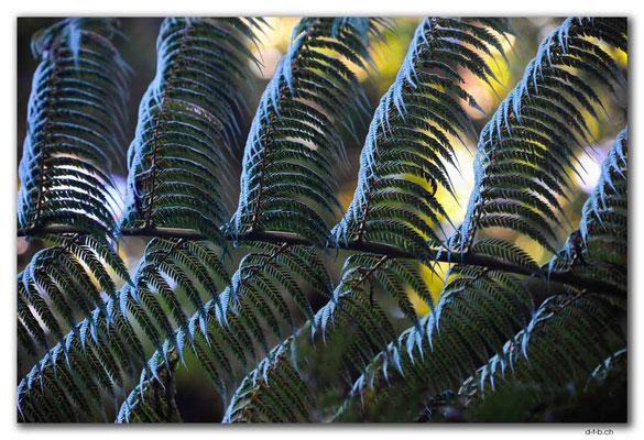 NZ0074.Waipoua,Silverfern