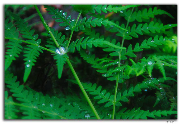 NZ0669.Nelson Lakes N.P.Raindrops on Fern