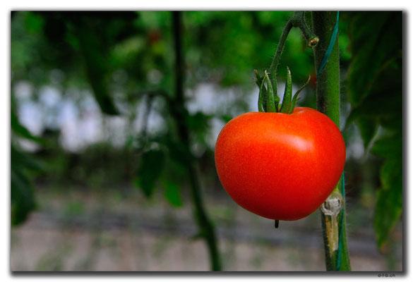TR0233.Tomatenplantage