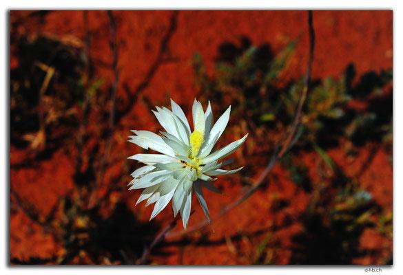 AU0389.Blume