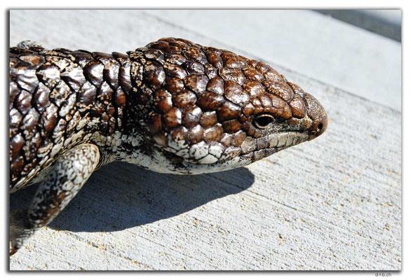 AU0565.Green Head.Bobtail Skink or Blue Tongue Lizard