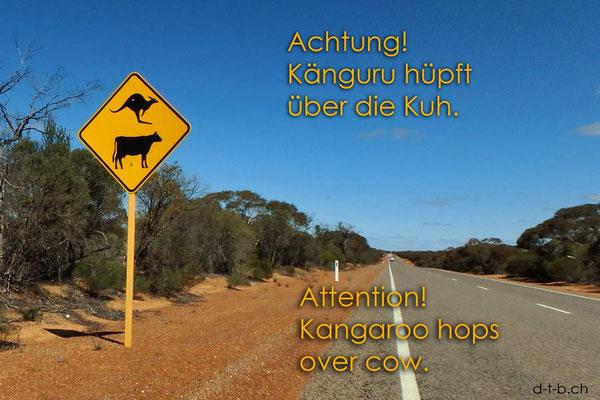 Australien.Känguru und Kuh
