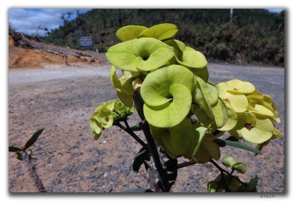 VN0299.Kaktusblüte
