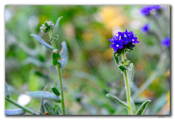 PL229.Blume