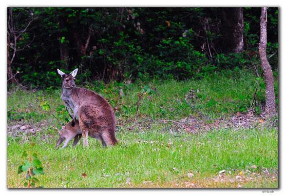 AU0760.Quinninup.Kangaroos