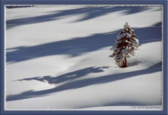 A0110 Tanne im Schnee,Klosters,CH