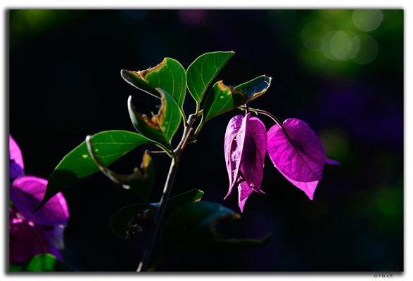 HK0098.Lamma Island.Blüten