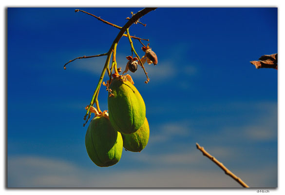 AU00118.Kapok Tree.Katherine Gorge