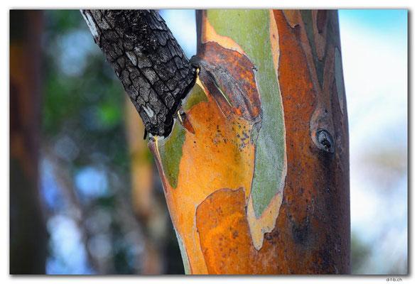 AU1300.Hobart.Gum Tree