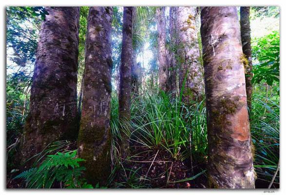 NZ0081.Kaurigruppe