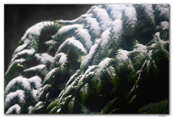 AU1386.Overland Track.Farn mit Schnee