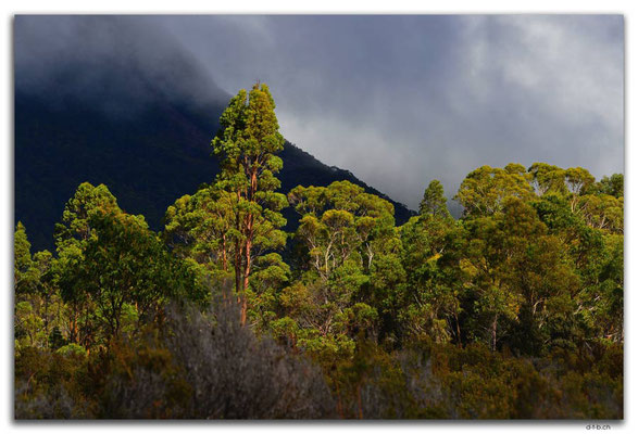 AU1379.Overland Track.Trees in the light